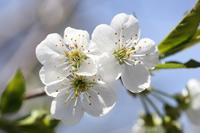 Cherry-Rocher : un vaste vergers de 6000 cerisiers